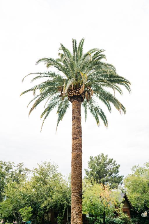 Palmier elagage et taille dans les Alpes Maritimes 06 - Clean Jardin